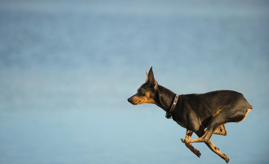 Miniature Pinscher dog Running Action Animal Themes Close-up Day Dog Domestic Animals Fast Mammal Min Pin Miniature Miniature Pinscher Nature No People One Animal Outdoors Pets Pinscher Purebred Dog Small Dog Water