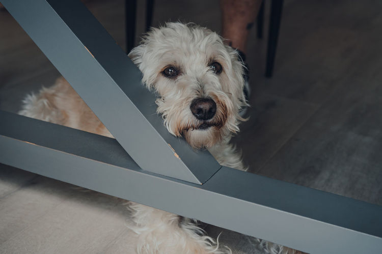Sad white dog laying on a floor under a table, looking at the camera. selective focus.