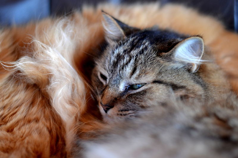 Two cats snuggled together. Animal Head  Animal Themes Cat Close-up Cuddling Domestic Animals Domestic Cat Eyes Closed  Feline Focus On Foreground Indoors  Lying Down Mammal One Animal Pets Relaxation Resting Selective Focus Sleeping Snuggling Tabby Cats Tabbycats Two Cats Whisker