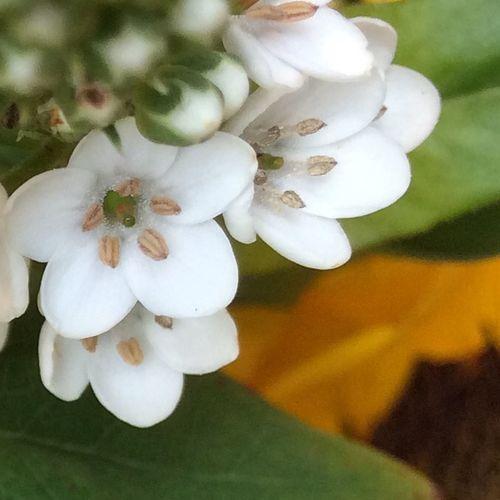 Flowers Plants EyeEm Best Shots - Macro / Up Close Macro Photography Macro_collection Blumen Macro Beauty Laurustinus Viburnum Tinus