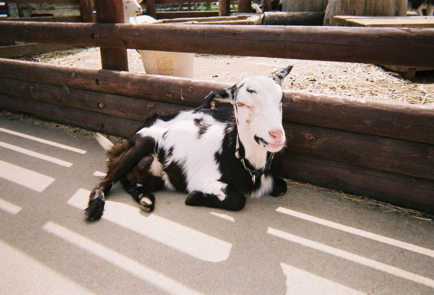 Goat ヤギ No People Sunlight Day Animal Mammal Animal Themes Goat Farm Filmphotography ヤギ 山羊 動物 フィルム写真 写ルンです Nature Outdoors Livestock Nature Sunlight Herbivorous