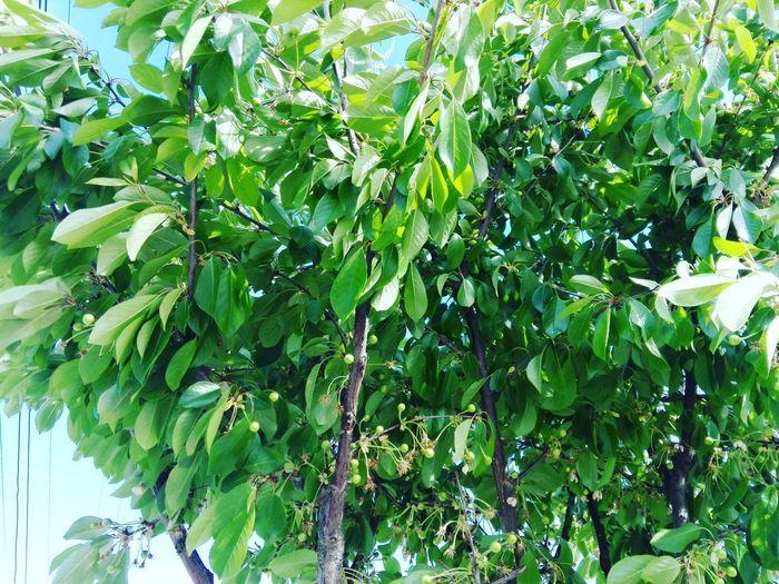 Tree Banana