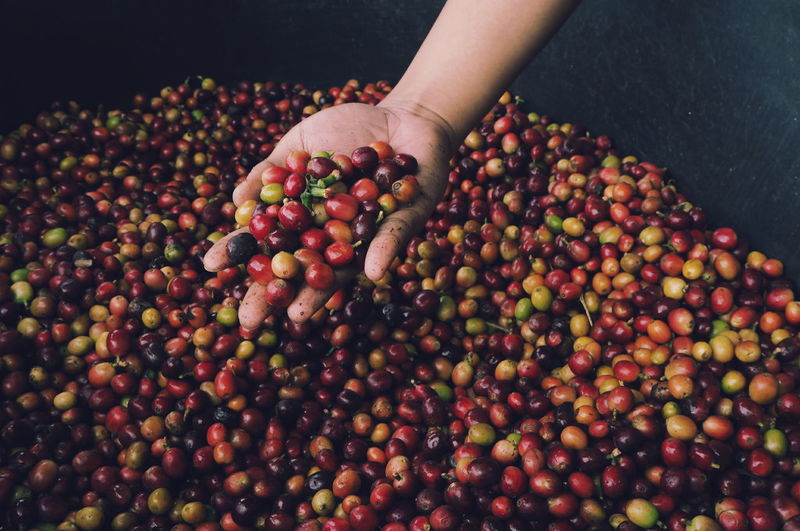 coffee cherry. Coffee Fruit Food And Drink Food Red