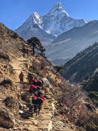 Everest Base Camp Trek - view of Ama Dablam, and Dzo caravan (crossbreed of yak and cow) Himalayas Yak Beauty In Nature Hiking Mountain Mountain Peak Mountain Range Sky