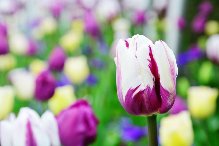 Spring Springtime Spring Flowers Summeriscoming Flowers Flower Flower Collection Tulip Tulips Blossom Blossoms  Blossom Flowers Colors Colorful Whiteandpurple Nature Natural Beauty Garden Garden Photography Beauty In Nature Plants Plants And Flowers Flowers,Plants & Garden Depth Of Field Deep Focus