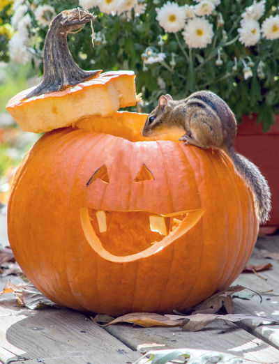 A tiny,  chipmunk checks out this halloween pumpkin as a possible new home