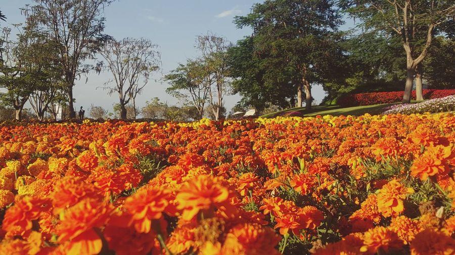Jardines De México Sempasuchitl Orange Flowers Beautiful Nature