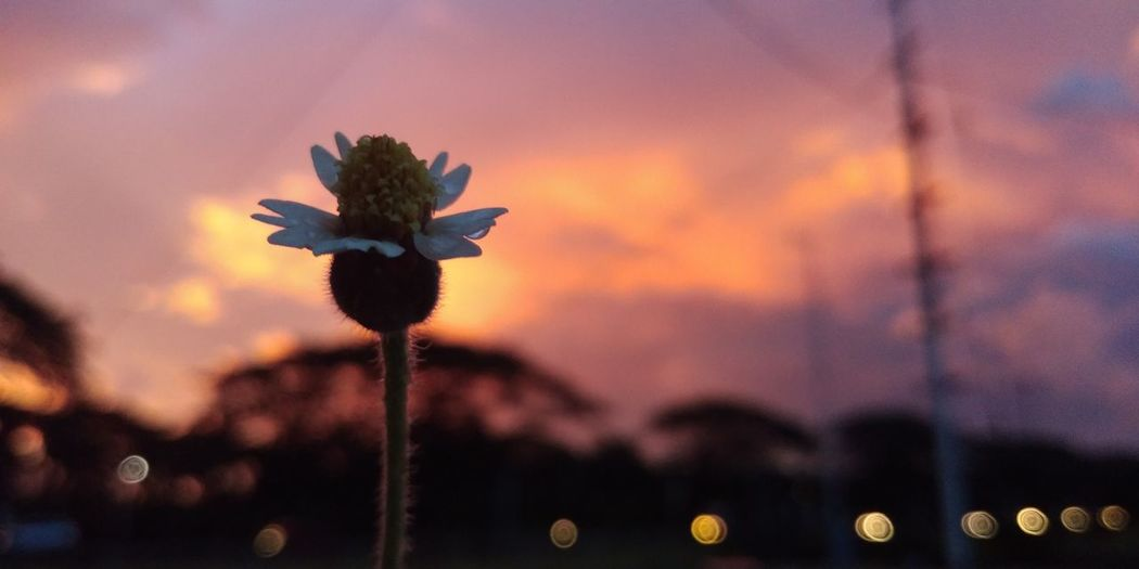 Close-Up Of Silhouette Flowering Plant Against Sky During Sunset