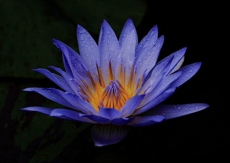 Water Lily, Flower purple flower