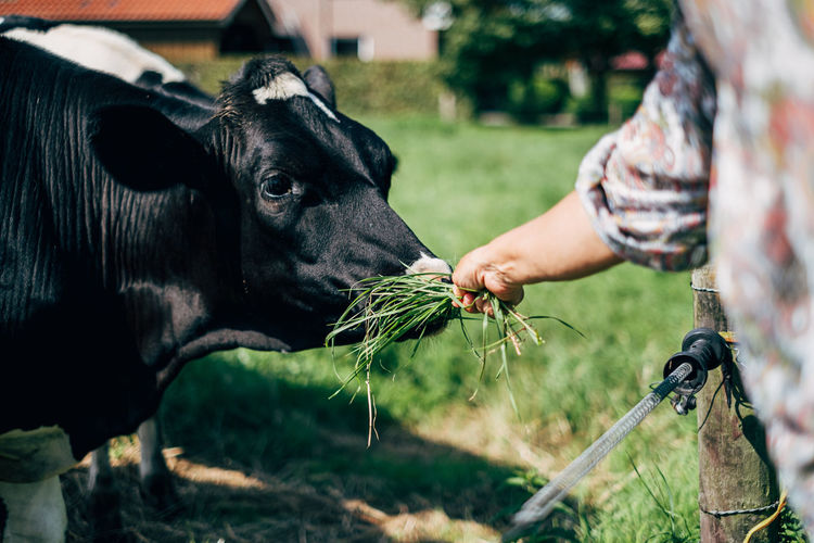 Close up of womans hand feeding cow with grass