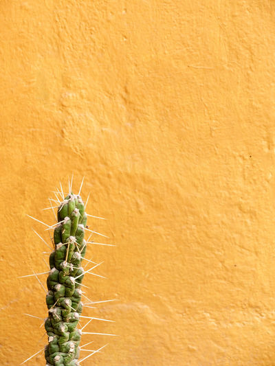 Close-up of cactus against orange background