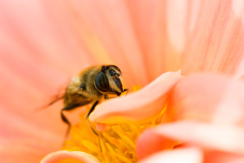 Macro of a bee gathering pollen in a flower Animal Themes Animal Wildlife Animals In The Wild Beauty In Nature Bee Close-up Day Flower Fragility Freshness Insect Insects  Nature One Animal Outdoors