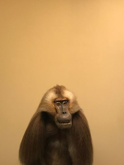 Close-up of monkey against yellow wall