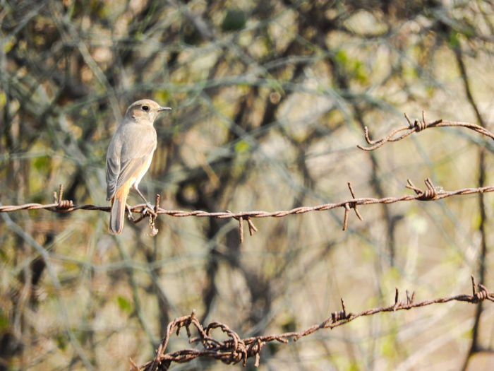 Bird Perching Branch Living Organism Portrait Tree Looking At Camera Songbird  Animal Themes Barbed Wire Sparrow Fence