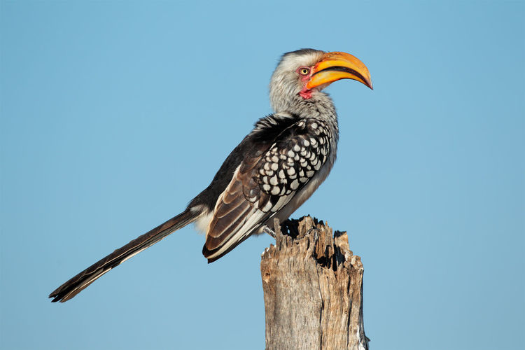 Low angle view of hornbill perching on wooden post against clear sky