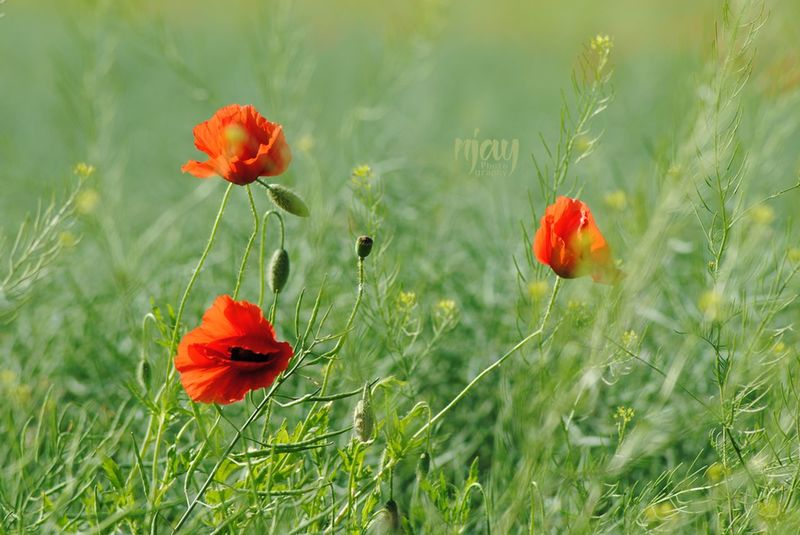 Poppy Poppy Flowers Poppies  Flower Red Green Plant Wildflower Nature Flowers,Plants & Garden Uncultivated Springtime Field Agriculture Filigran Filigran Flowers Close-up Flower Head Summer Fragility Nature On Your Doorstep Naturelovers Nikon Flowerporn Plants