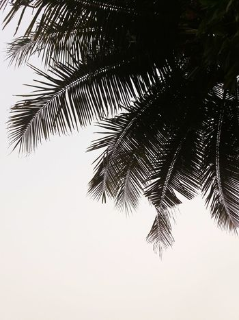 Tree No People Nature Close-up Branch Outdoors Sky Day Mangalorediaries Leaves🌿 Fresh On Eyeem  Leaf Plant Beauty In Nature Coconut Trees Coconut Black And White We Love Nature Trees And Nature Tree Lover