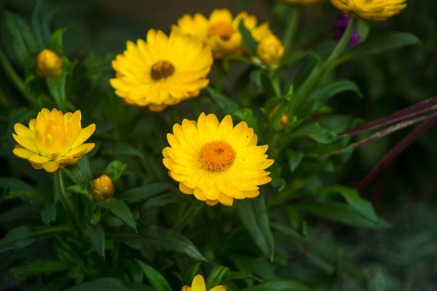 Beauty In Nature Blooming Botany Flower In Bloom My Garden Outdoors Petal Selective Focus Yellow