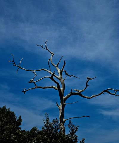 Petrified Tree Bare Tree Beauty In Nature Blue Branch Cloud Cloud - Sky Cloudy Crystal Beach, FL Day Growth High Section Idyllic Low Angle View Nature No People Outdoors Petrified Petrified Tree Scenics Sky Tranquil Scene Tranquility Tree Twig