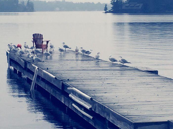 Dock Seagulls