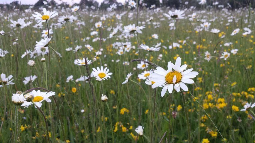 Yay! Lots of daisies! TheVilleAtEyeem Eyeemnature Eyeemnaturelover Flowers For Passion!