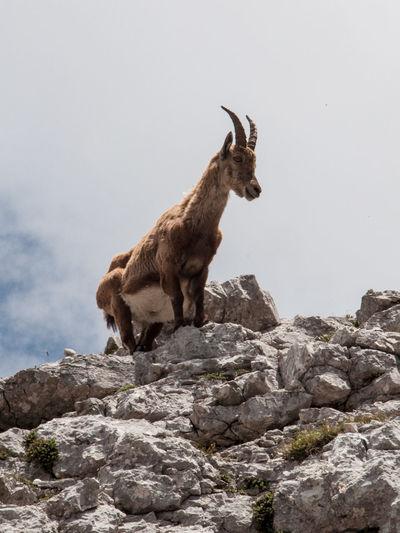 Goat on rock against sky