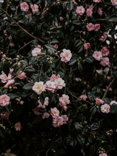 Pretty pink camellia flowers Flower Flowering Plant Plant Beauty In Nature Fragility Freshness Growth Vulnerability  Pink Color Petal Nature Close-up No People Day Outdoors Inflorescence Flower Head Botany High Angle View Park