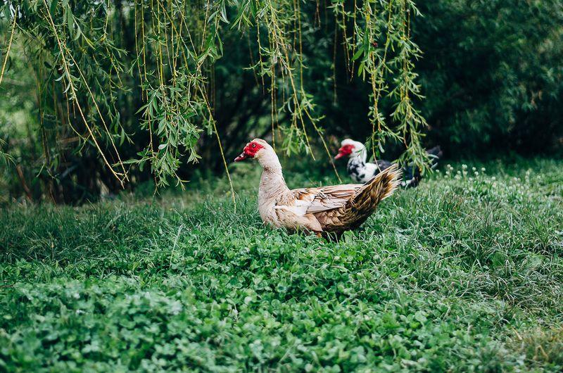 Duck in a field