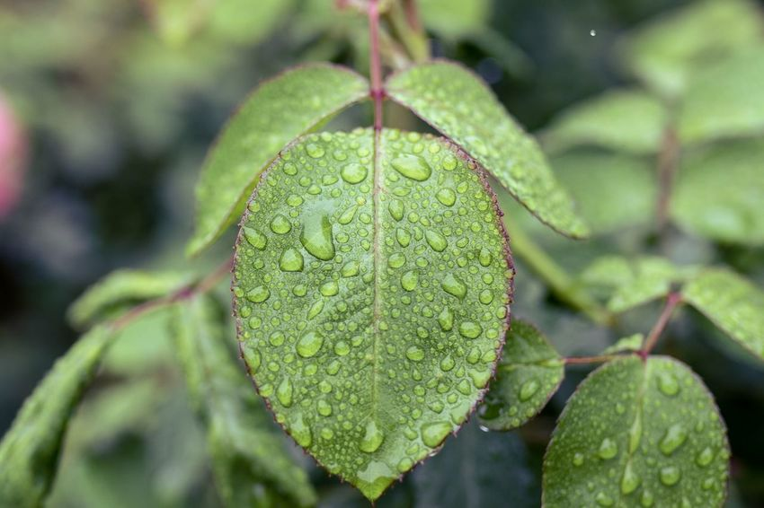 After the rain ... Leaf Plant Part Plant Growth Focus On Foreground Close-up Green Color Beauty In Nature Nature Drop Water Outdoors Tranquility Freshness Botany RainDrop Leaves