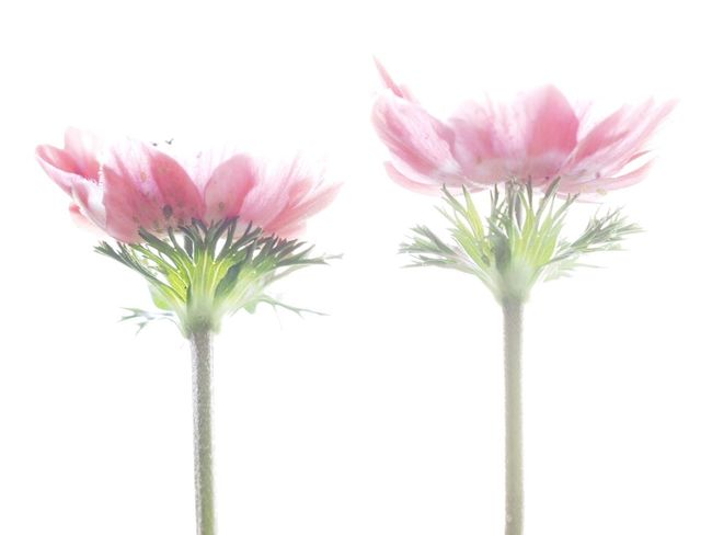 Highkey High Key Blooming Plant Plants Plants And Flowers Pastel Power Close-up Flower Flowers Flowerporn Flower Head Flower Photography Focus On Foreground Fragility Fragile Anemone Anemones Showcase April Fine Art Photography Fine Art