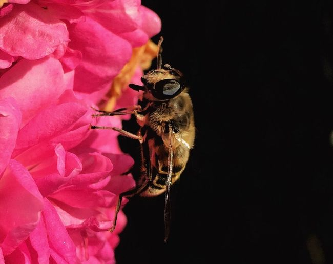 Flower Petal Fragility Flower Head Rose - Flower Nature One Animal Pink Color Beauty In Nature Close-up Freshness No People Insect Animal Themes Plant Growth Animals In The Wild Outdoors Day Blooming bee Roses