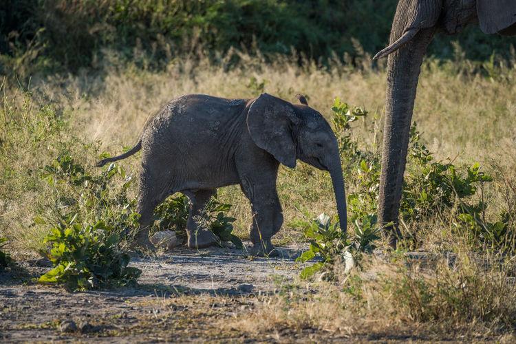 Elephant calf walking in forest