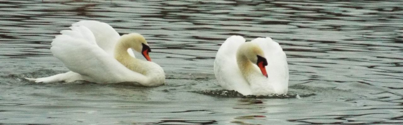 Animal Themes Couple Natural Beauty Nature Outdoors Spinning Around Swans Water Water Dance