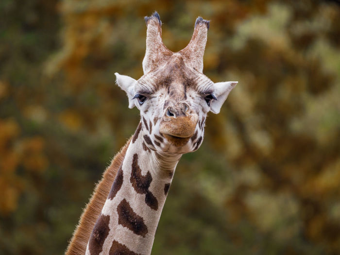 Close-Up Portrait Of Giraffe