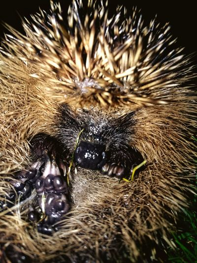 No People Close-up Nature Backgrounds Outdoors Beauty In Nature Animal Themes Day Mammal Light And Shadow Beauty In Ordinary Things EyeEm Best Shots EyeEm Selects One Animal Looking At Camera Portrait Hedgehogs Hedgehog Hedgehog In Grass Scared Face Scared Animal Protection Fearful