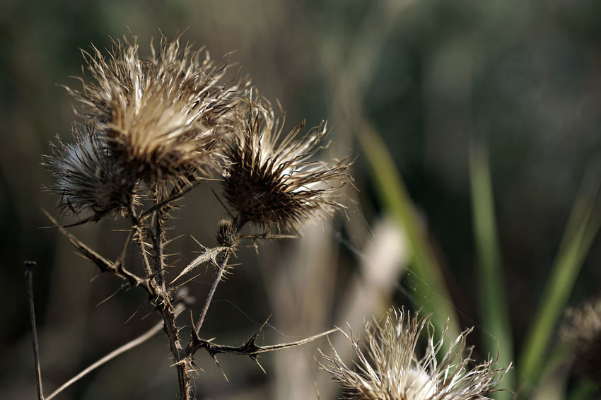 Beauty In Nature Close-up Dandelion Seed Day Dead Plant Dried Dried Plant Dry Flower Flower Head Flowering Plant Focus On Foreground Fragility Freshness Growth Nature No People Outdoors Plant Plant Stem Selective Focus Spiky Thistle Vulnerability  Wilted Plant
