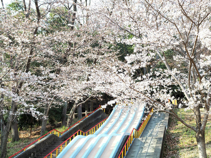 Cherry blossoms and slides that are beautifully blooming (綺麗に咲いている桜と滑り台) Ad Beautiful Cherry Blossoms Copy Space Green Ikeda Nature Plant Black Color Brown Flower Full Bloom Landscape Margin No Person Nobody Outdoors Pink Color Play Equipment Slide Text Space White Yellow サクラ 池田市
