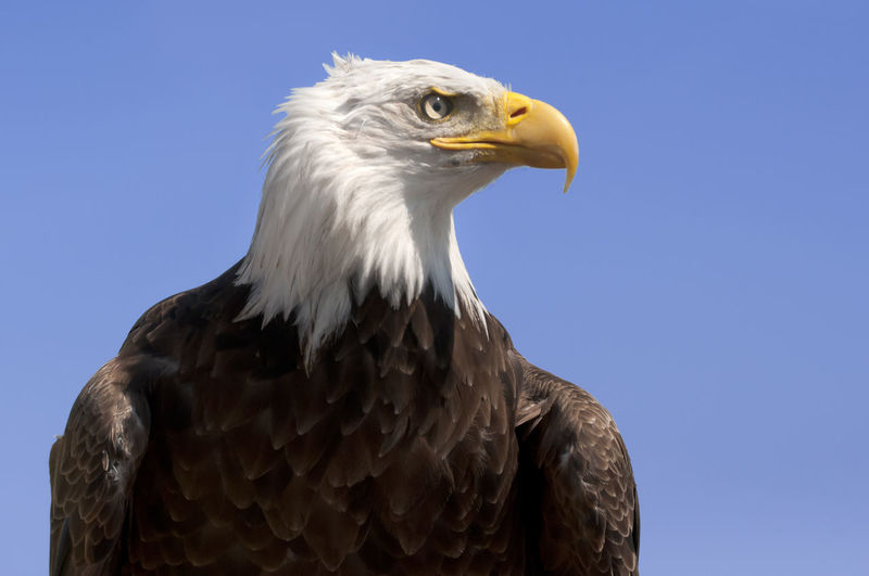 Low angle view of eagle against clear sky