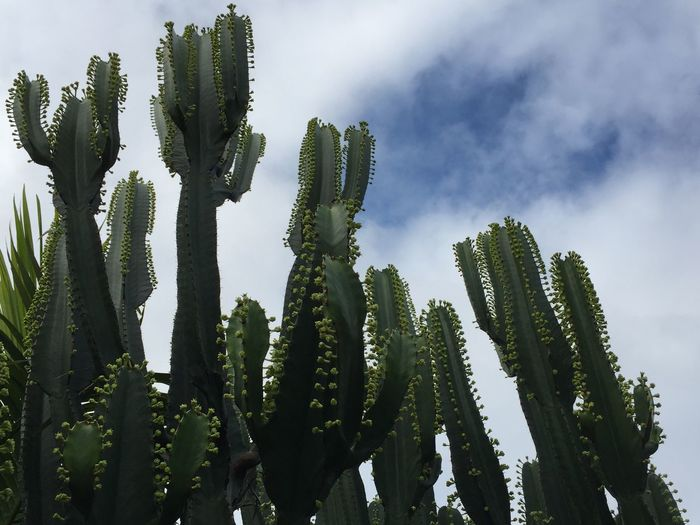 Beauty Full Cactus Beauty In Nature Cactus Close-up Cloud - Sky Clouds Clouds And Sky Day Flowers, Nature And Beauty Garden Green Green Color Growth Low Angle View Nature No People Outdoors Plant Sky Spiked Succulent Plant Tranquility Uncultivated
