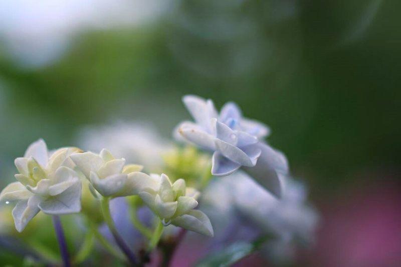 花びらふぇち 妄想ふぇち 紫陽花2015Photo マクロ Macro Flower ボケ味ふぇち ボケ味が好きです。