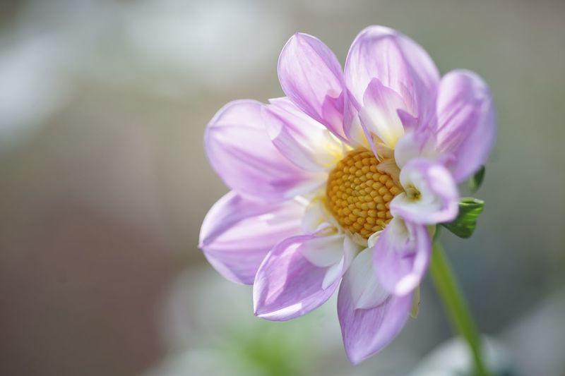 Hopeful Masako201809 Nofilternoedit Micronikkor105mmf2.8 Pink Flower Dahlia Hopefull Flower Flowering Plant Fragility Plant Vulnerability  Freshness Beauty In Nature