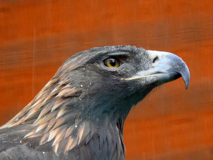 Close-up of an eagle against an orange background.