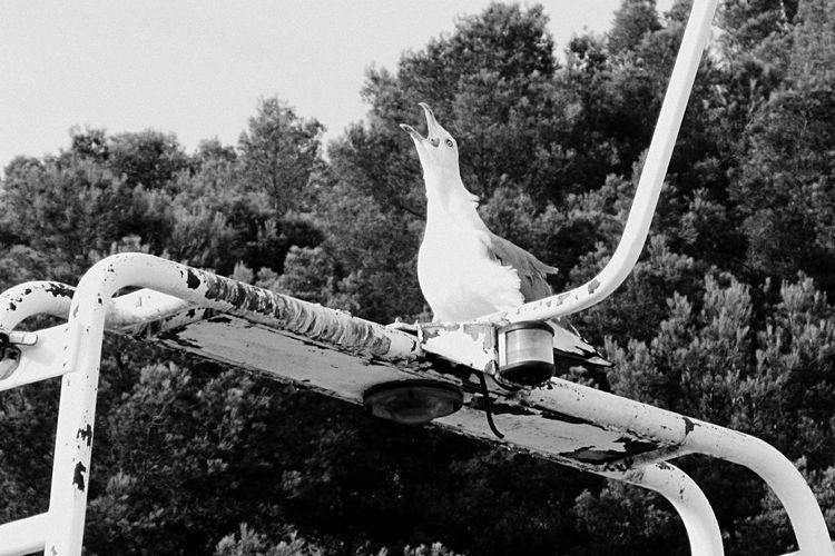 Il grido / Seagull Gabbiano Sea Animal_collection Seagulls And Sea Birds_collection Animals