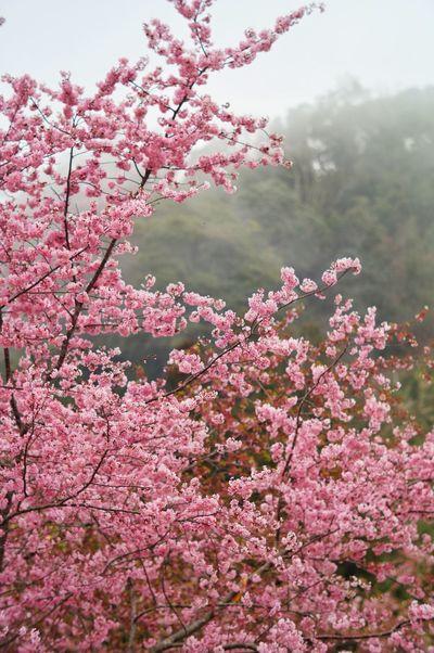 臺灣 Flower Nature Pink Color Springtime Tree Blossom Growth Fragility Freshness Beauty In Nature Cherry Blossom Low Angle View Outdoors Branch Cherry Tree Sky Day Plant No People Close-up 恩愛農場