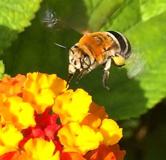 Busy Bee! bee flying Flight Of The Bumblebee flight of the bumblebee The Moment - 2015 EyeEm Awards