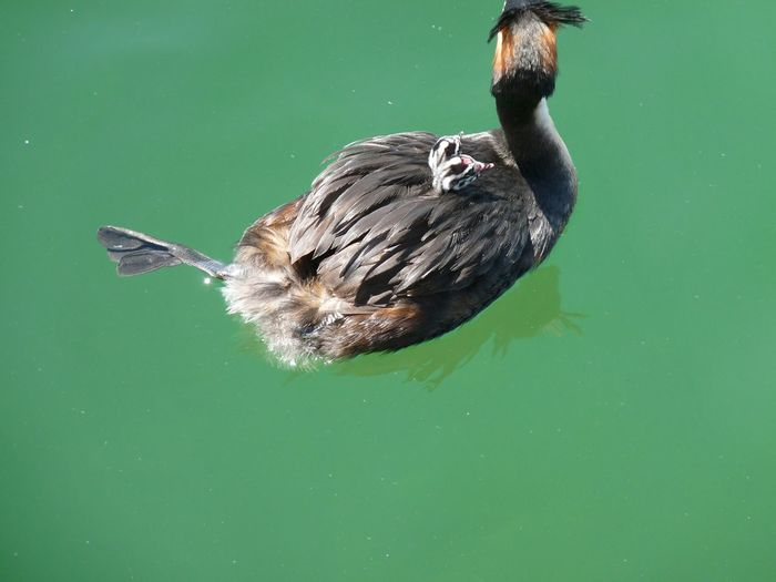 High angle view of bird and young animals swimming in lake