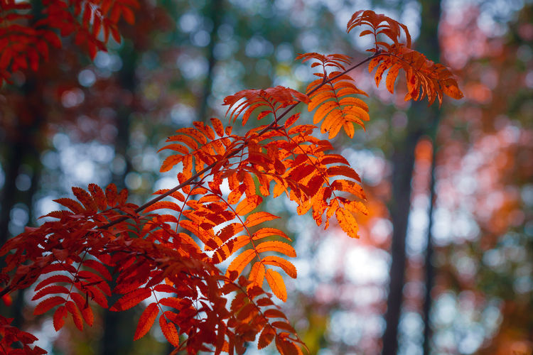 Autumn Fall Foliage Forest Birch Mood Landscape Nature Park Beautiful Red Season  Wallpaper Yellow Leaves Colorful Woods Trees Path Beauty Road Scene Tree Natural Color Orange Light Environment Rural Background Sunlight Canada Outdoor Vibrant Bright Plant Golden Scenic Pathway Leaf Colors October November Walk Orange Color Plant Part The Great Outdoors - 2019 EyeEm Awards
