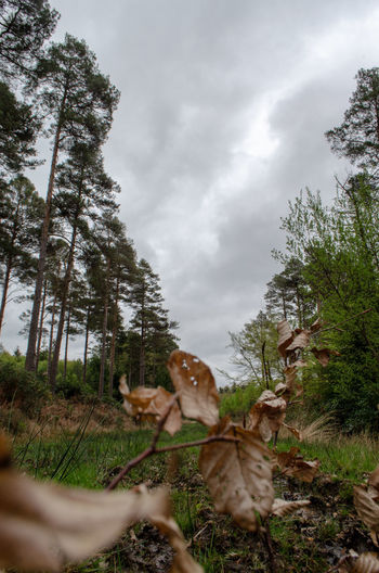 new forest Upclose  Autmn Dead Dead Leaves Brown No People Tree Sky Grass Cloud - Sky Pine Woodland Evergreen Tree Fir Tree Coniferous Tree WoodLand Overcast Woods Countryside Growing Storm Cloud