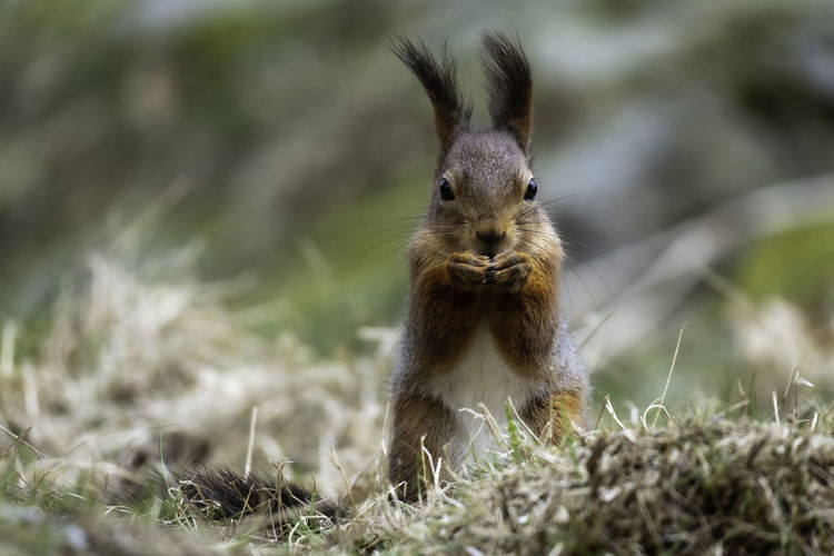 Close-up on a squirrel sitting upright on a windy day with its ears bending in the wind.