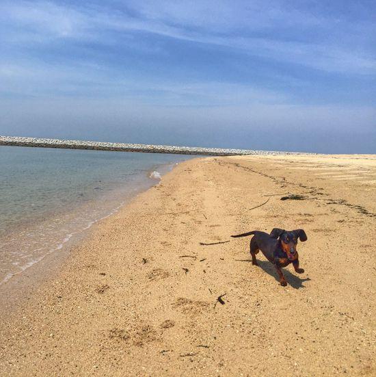 Dachshund Beach Dog Walking Japan